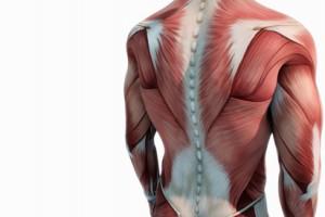 Oberkrper Anatomie Muskeln